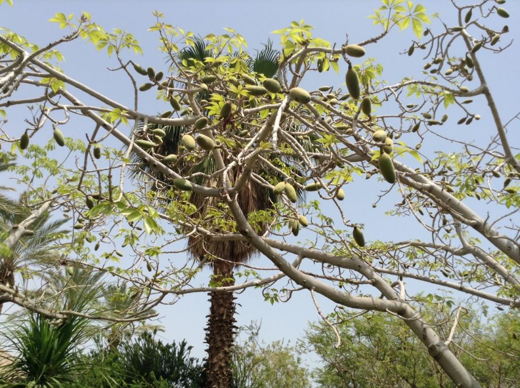 Ein Gedi-arbre à kapok