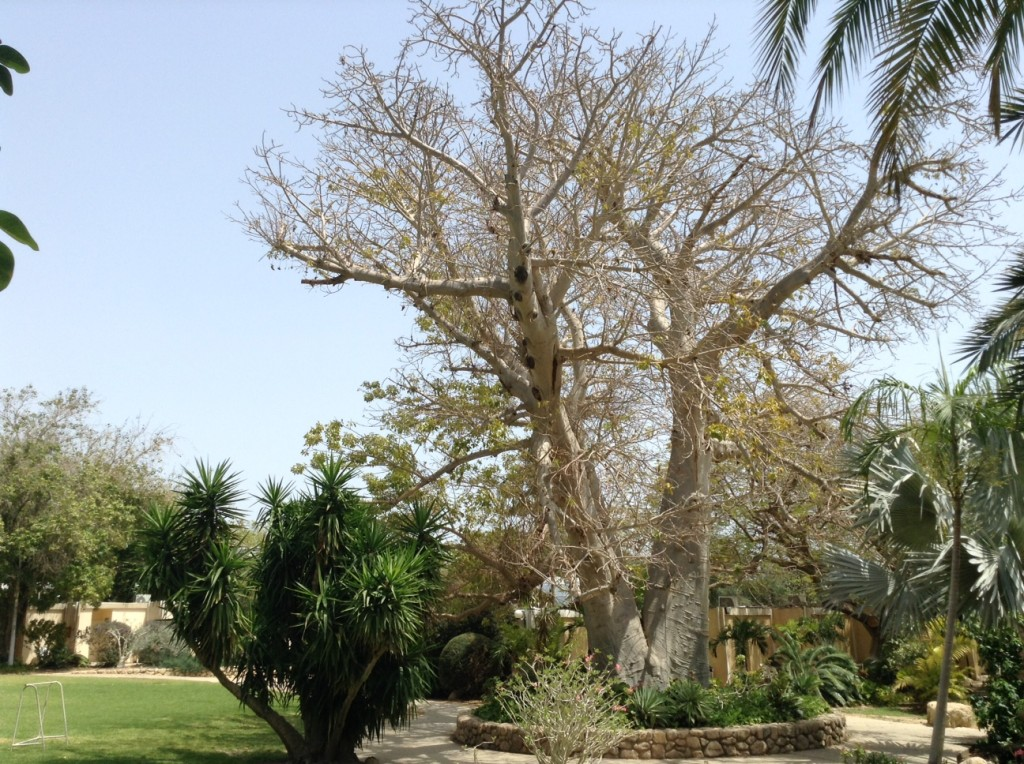 Ein Gedi-baobab