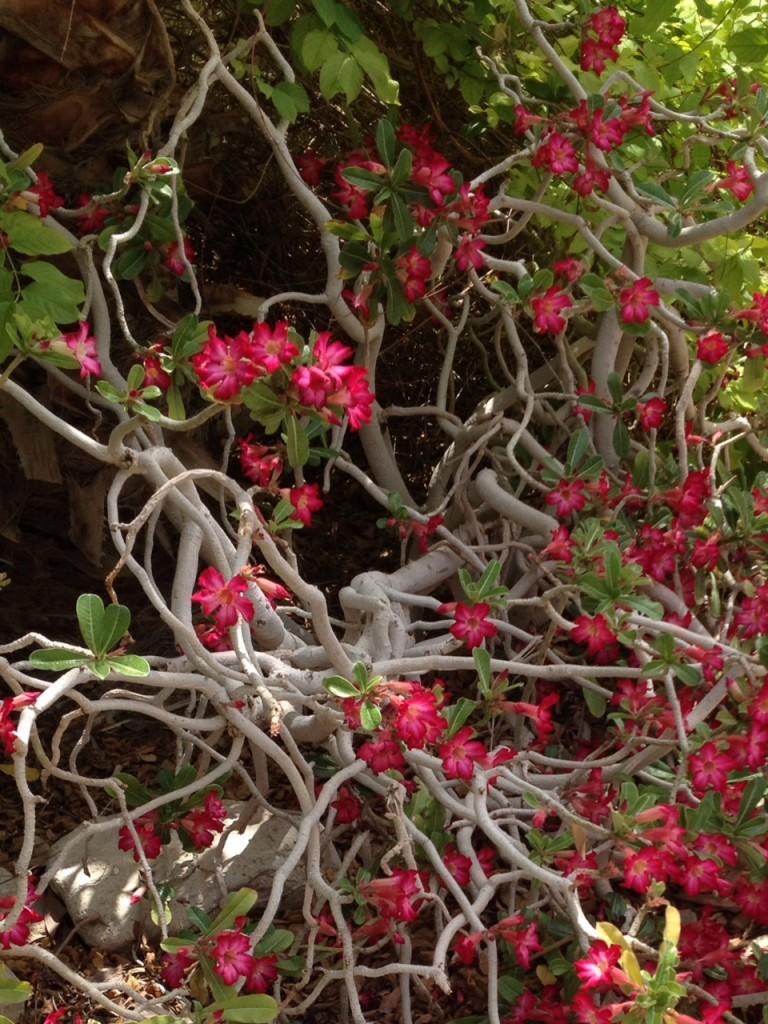 Ein Gedi-rose du désert2