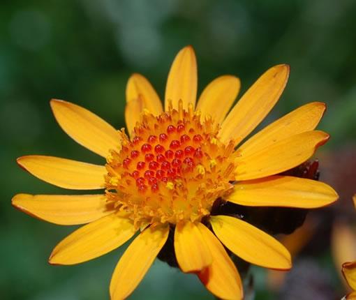 arnica-fleurs
